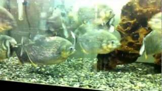 OH MY GOSH! Extremely hungry Piranhas.GRAPHIC!!!!!