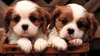 getlinkyoutube.com-Les plus beaux bébés chiots du monde