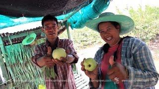 """getlinkyoutube.com-เศรษฐีเกษตร 12/4/58 : วิธีการปลูก """"ฝรั่งกิมจู"""" ให้รวย"""