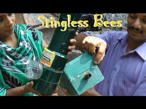 Stingless Bees / Meliponiculture Part 4 - Removing Bees from a Paint Can!