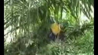 Video Amatir -  Dua Orang Siswa Mesum Dikebun Sawit