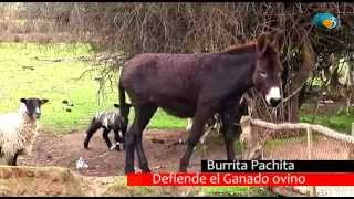 getlinkyoutube.com-Burrita Pachita defiende ovejas.  Espanta zorros, perros y depredadores.
