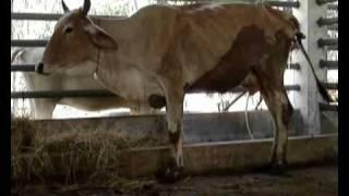 getlinkyoutube.com-group 11 ตามติดชีวิตแม่วัว.wmv