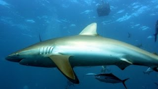 Feeding hungry silky shark an opportunistic predator in open ocean