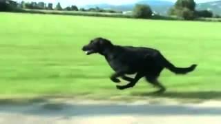getlinkyoutube.com-Cane nero che corre - black dog runs