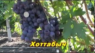 getlinkyoutube.com-Новые гибридные формы винограда селекции Е Г 2 cut