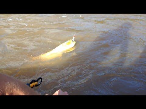 Pescaria de Dourado Rio Ivaí - Gulino's Pesca