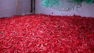getlinkyoutube.com-Cold Water Shrimp Fishery - Port aux Choix, NL