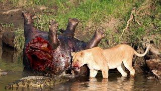 getlinkyoutube.com-20 СУМАСШЕДШИХ БИТВ ЖИВОТНЫХ СНЯТЫХ НА КАМЕРУ Лев,Буйвол,Крокодил,Слон,Медведь,Корова,Баран,Против