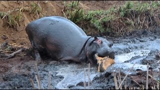 getlinkyoutube.com-Angry Hippo Crushes Antelope: SNAPPED IN THE WILD