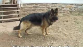 getlinkyoutube.com-Large Boned German Shepherds Ash, Sig, Sheba - Big Boned German Shepherds