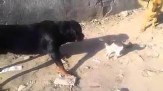 getlinkyoutube.com-شاهدة المعجزة...3 كلاب بوليسية مرعوبون من قطة صغيرة