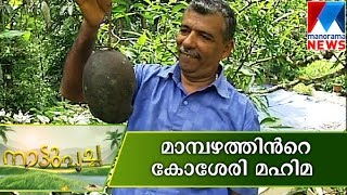 getlinkyoutube.com-Kosseri Mango- A real BIG taste| Nattupacha | Manorama News