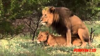 getlinkyoutube.com-ライオンの交尾から出産まで