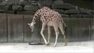 getlinkyoutube.com-Giraffe Birth at the Memphis Zoo