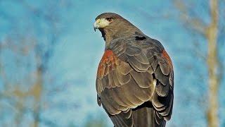 getlinkyoutube.com-Falconry with Four Harris's Hawks