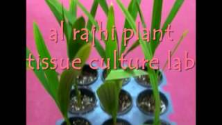 getlinkyoutube.com-AL RAJHI DATE PALM TISSUE CULTURE LAB   YouTube