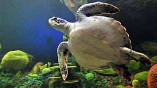 getlinkyoutube.com-♥♥ Giant Sea Turtles in Coral Reef (3 hours)