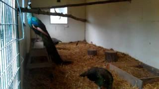 getlinkyoutube.com-Green Peafowls (Pavo muticus) feeding (full)