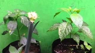 getlinkyoutube.com-penyakit dan kesalahan dalam menanam cabai