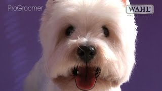 getlinkyoutube.com-Grooming Guide - West Highland White Terrier Pet Trim - Pro Groomer