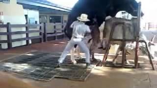 getlinkyoutube.com-Coleta de sêmen em bovino