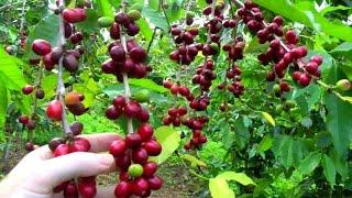 getlinkyoutube.com-Make a Cup of Coffee Starting From Scratch | Coffea arabica | Video