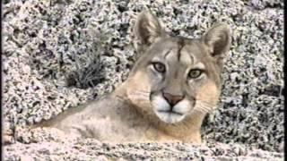 getlinkyoutube.com-Puma, El León de los Andes - National Geographic