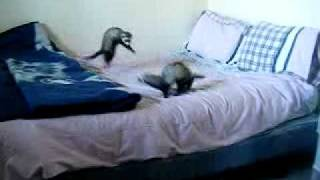 Ferrets playing (and making all sorts of funny noises!)