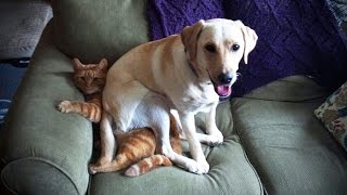 LABRADORS ARE AWESOME ★ Funny Labradors COMPILATION [Funny Pets]
