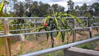 getlinkyoutube.com-Pitaya {Dragon Fruit) Palm Beach Rare Fruit Council