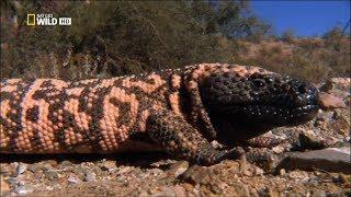 getlinkyoutube.com-Самые опасные животные -  От пустыни до саванны HD