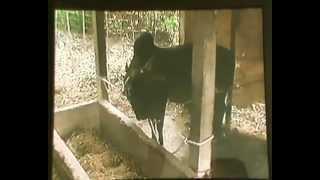 getlinkyoutube.com-BEAUTIFULL FIGHTING BULL IN NABIGONJ BANGLADESH