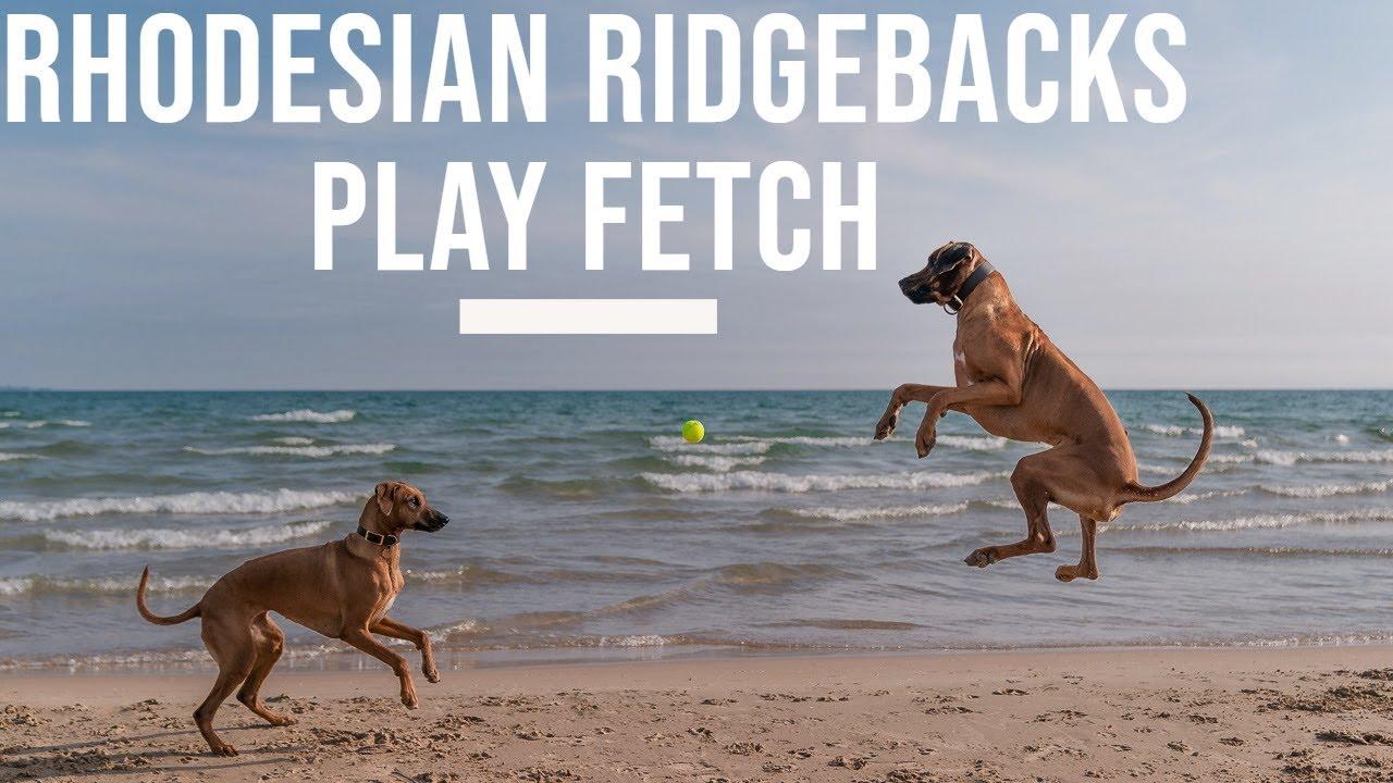 Rhodesian Ridgebacks Play Fetch Video Thumbnail