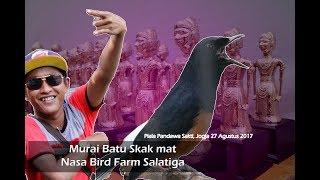 PIALA PANDAWA SAKTI : Murai batu Skak mat ( Nasa Bird Farm ) nyeri