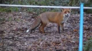 getlinkyoutube.com-CHEEKY FOX TAKES ON MAN & DOG FOR CHICKENS.