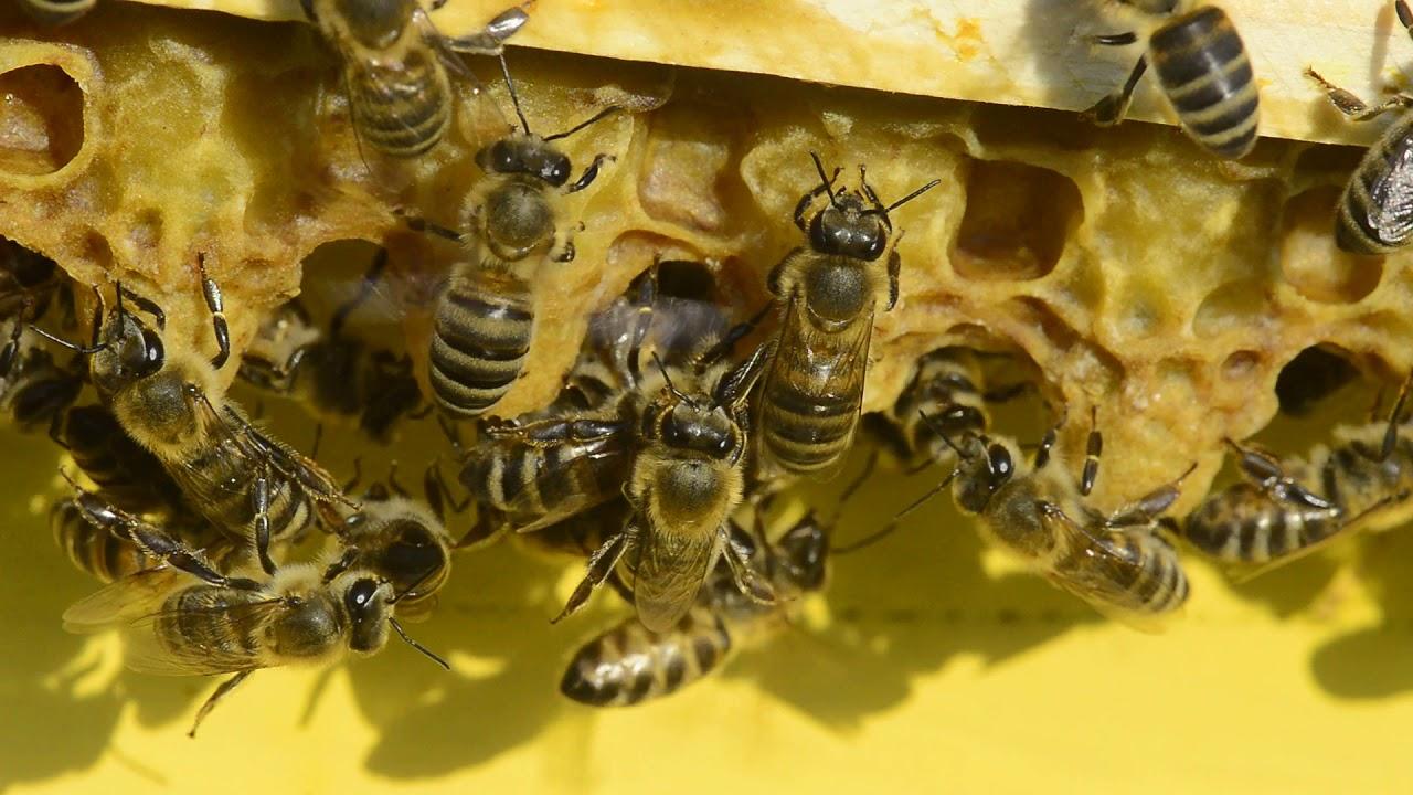 Kako pčele neguju mlade matice