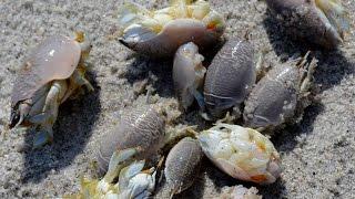 getlinkyoutube.com-How to catch sand fleas by hand in Florida.