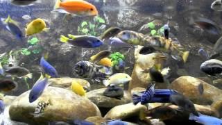 getlinkyoutube.com-Malawi Aquarium 937ltr - Best Video