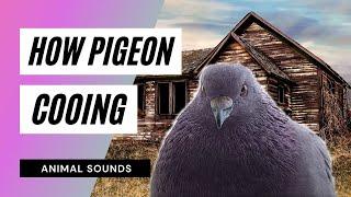 getlinkyoutube.com-The Animal Sounds: Pigeon Cooing - Sound Effect - Animation