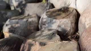 getlinkyoutube.com-แนะนำ พันธุ์มะพร้าว