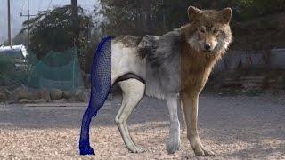 getlinkyoutube.com-Photo-realistic 3D Wolf R&D by Dexter Studio (Fur, Motion, Lighting, Modeling VFX Breakdown)
