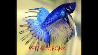 getlinkyoutube.com-LOS MEJORES PECES BETTA (HD)