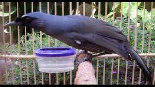 Video Kicau Burung Poksai
