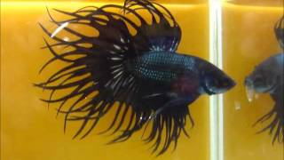 getlinkyoutube.com-Black Copper and Red fin Black Copper King Crowntail Betta fish