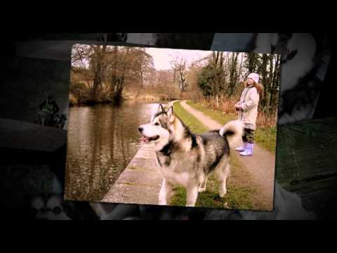 AMCUK ALASKAN MALAMUTE RESCUE VIDEO