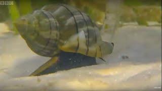 Giant Horse Conch and burglar Hermit Crabs - Blue Planet - BBC