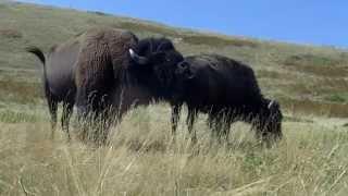 getlinkyoutube.com-Montana buffalo mating season