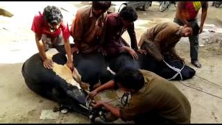 getlinkyoutube.com-Dangerous bull qurbani 2015 (afraz bhai)