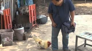 getlinkyoutube.com-พิษณุโลก120556ไก่ดุ เลี้ยงแทนหมาเฝ้าบ้าน